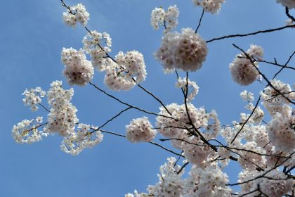 Cherry blossom trees in the spring