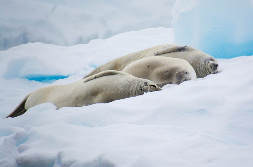 Napping crabeater seals