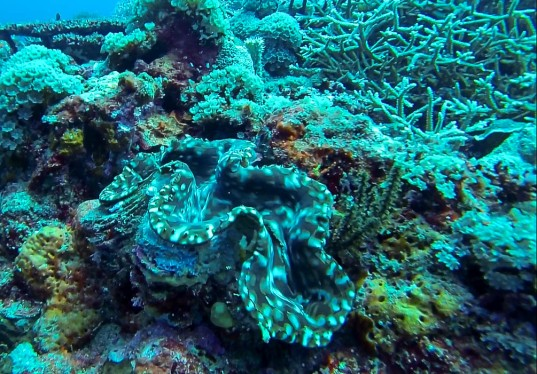 A giant clam